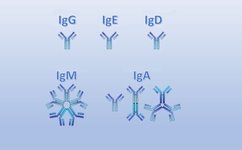 Main groups of human Immunoglobulins